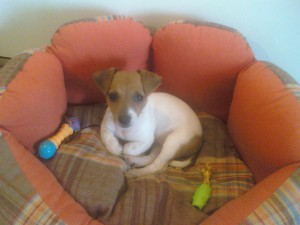 adopter chien Jack Russel