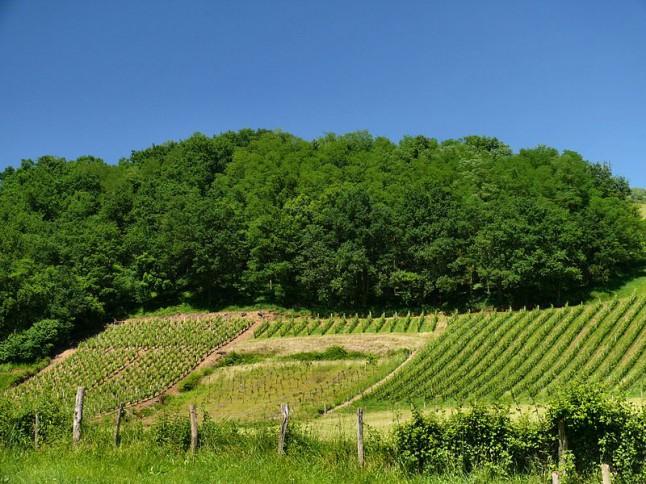 vignes campagne verdoyante