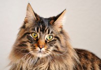 chat Maine Coon photographie