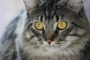 yeux chat tigré