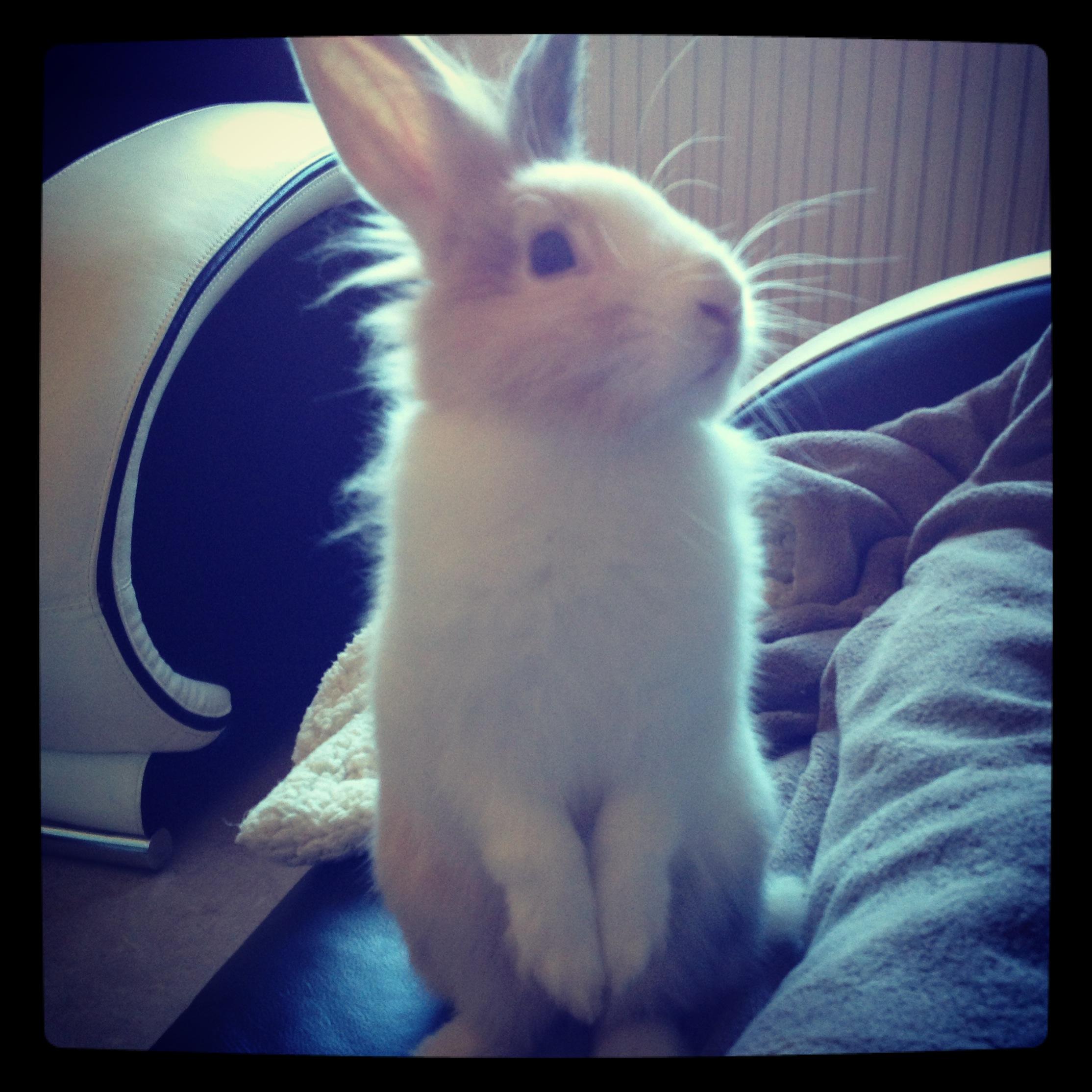 le lapin : un animal de compagnie à part entière