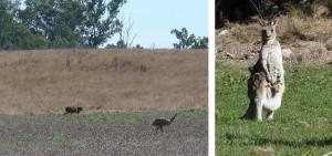 kangourous emeus