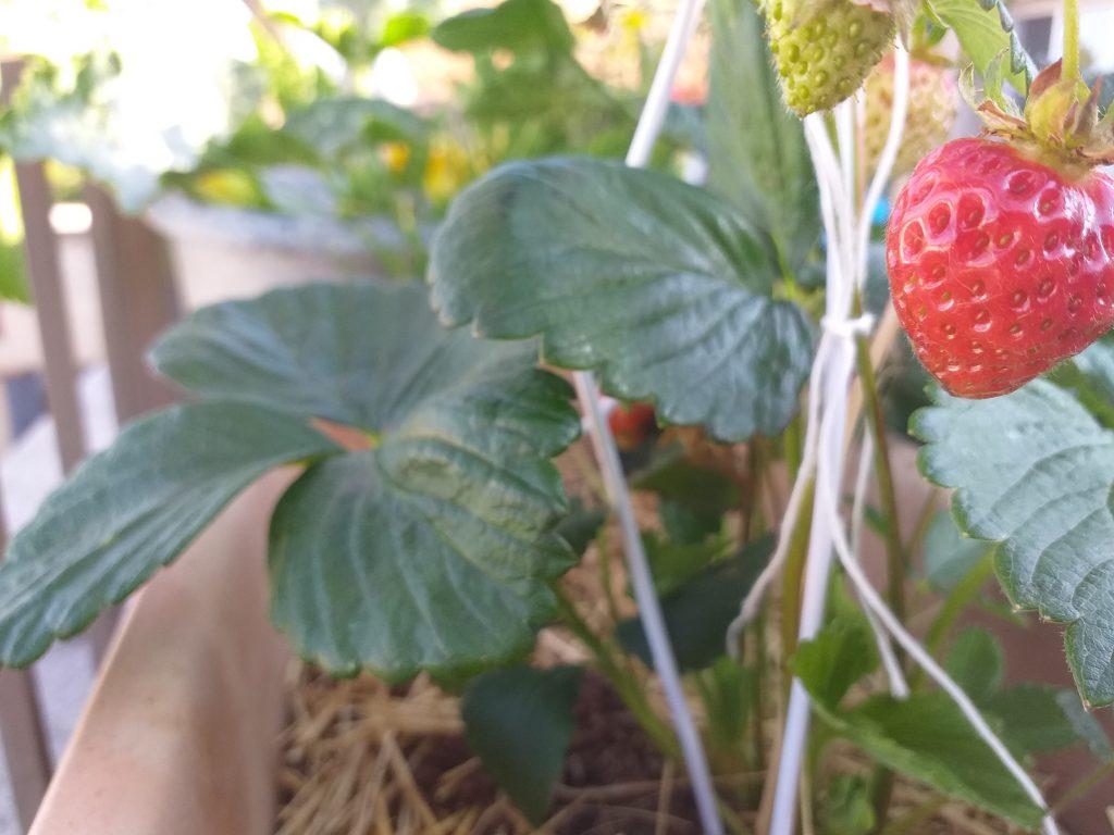 Potager sur balcon : fraise
